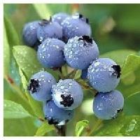 蓝莓膳食纤维 包邮