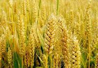 小麦膳食纤维厂家包邮