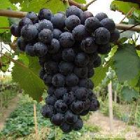 夏黑葡萄上市了,大棚葡萄上市价格