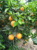 大量销售宜昌夏橙