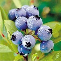 蓝莓纤维粉包邮
