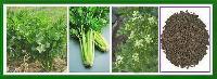 芹菜籽提取物厂家