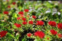 优质红景天甙    红景天提取物