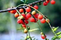 红豆杉提取物