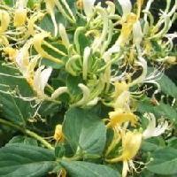 优质绿原酸 单体    金银花提取物