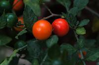 红豆煮水浓缩粉