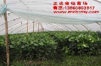 蜜柚小苗多少钱一株?哪里的三红柚子苗便宜