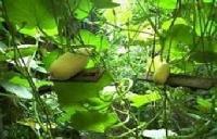 土贝母皂苷 土贝母提取物 厂家直销