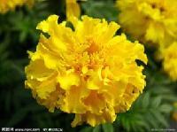 叶黄素 98%  万寿菊叶黄素  全国