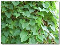盐酸青藤碱   青藤或汉防己的干燥根提取