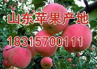 山东红富士苹果产地价格
