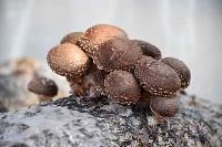 春婷食用菌蘑菇香菇