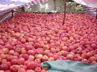 最新红富士苹果产地价格 今日山东红富士苹果产地批发价格