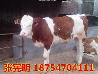 西门塔尔种牛价格$肉牛犊批发价格$肉牛犊多少钱一头