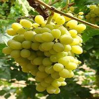 新疆沙里海无核白葡萄4斤每筐白提葡萄顺丰包邮