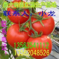 山东西红柿生产基地