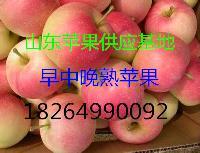 山东今日嘎啦苹果价格行情