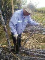 广东省清远市黑皮甘蔗种植基地