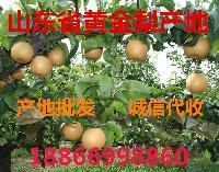 黄金梨批发价格优质黄金梨产地价格
