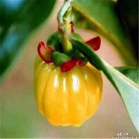 优质 藤黄果提取物  白色粉末 羟基柠檬酸