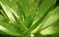 芦荟苷99%芦荟提取物,天然保湿原料厂家直销