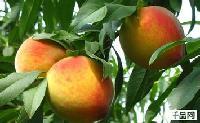 优质砀山黄桃 砀山黄桃价格批发 产地直销价格低