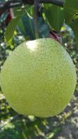 雪花梨、皇冠梨、水晶梨,产地常年大量供应