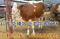 最新西门塔尔肉牛价格