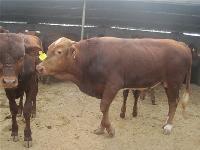 黄牛牛犊多少钱一头