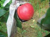 优质陕西温室早熟油桃上市518油桃上市价格