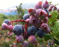 都克蓝莓苗 优质蓝莓苗品种