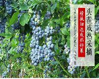 美登蓝莓苗