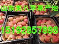 美八苹果今年价格 *美八苹果批发价格