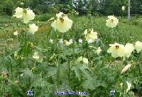 太原黄蜀葵胶价格