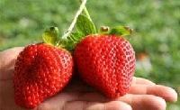 丰香草莓苗 果肉多汁,酸甜适口,芳香宜人,营养丰富