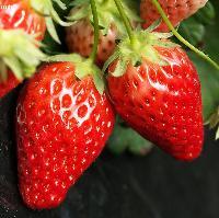 草莓酵素 草莓酵素粉 厂家直销 果蔬酵素