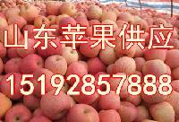 膜袋红富士苹果批发价格 山东省膜袋苹果价格