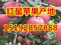 山东省红星苹果批发价格 纸袋红星最新价格