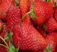 美香沙草莓苗 花量大,坐果率高,果实极早熟