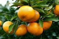 湖北柑橘代办/湖北柑橘产地批发/湖北柑橘代办电话
