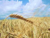 小麦价格趋势