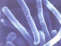 植物乳杆菌及各类乳杆菌粉植物益生菌原料益生菌添加剂