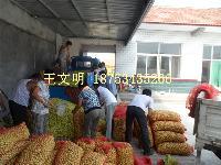 露天山东鲜枣大量上市