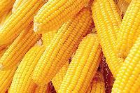 玉米价格最近行情
