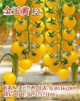 金玉黄小西红柿种子 黄樱桃番茄种子