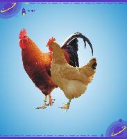 鸡苗、九斤黄、青脚麻
