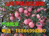 山东红富士苹果最新报价