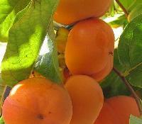 日本大甜柿地头上车价格行情走势