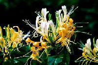 金银花提取物天然品质保证