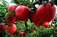 山东红星苹果产地批发价